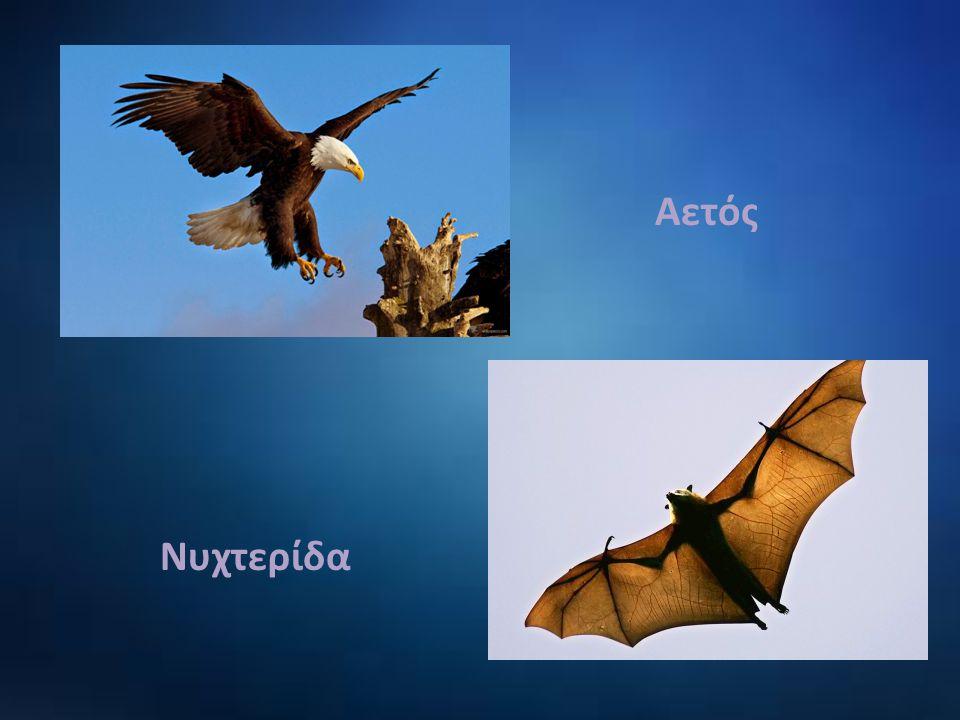 Αετός Νυχτερίδα