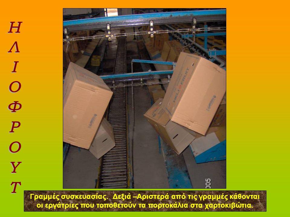 Υπότιτλος Γραμμές συσκευασίας. Δεξιά –Αριστερά από τις γραμμές κάθονται οι εργάτριες που τοποθετούν τα πορτοκάλια στα χαρτοκιβώτια.