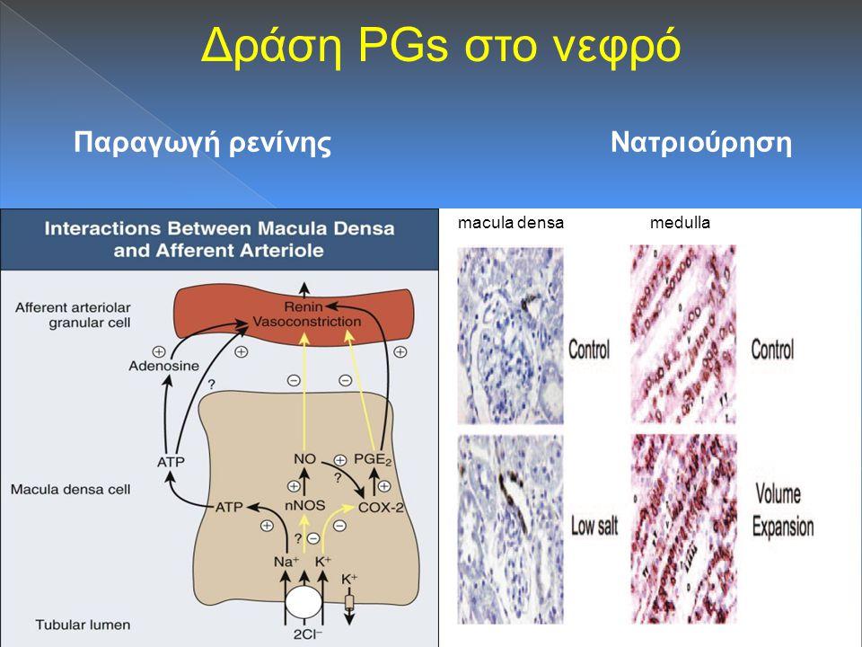 Δράση PGs στο νεφρό Παραγωγή ρενίνης Νατριούρηση macula densa medulla