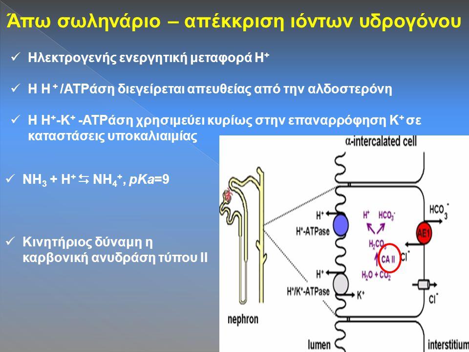 Άπω σωληνάριο – απέκκριση ιόντων υδρογόνου Ηλεκτρογενής ενεργητική μεταφορά Η + Η Η + /ATPάση διεγείρεται απευθείας από την αλδοστερόνη Η Η + -Κ + -ATPάση χρησιμεύει κυρίως στην επαναρρόφηση Κ + σε καταστάσεις υποκαλιαιμίας NH 3 + H +  NH 4 +, pKa=9 Κινητήριος δύναμη η καρβονική ανυδράση τύπου ΙΙ