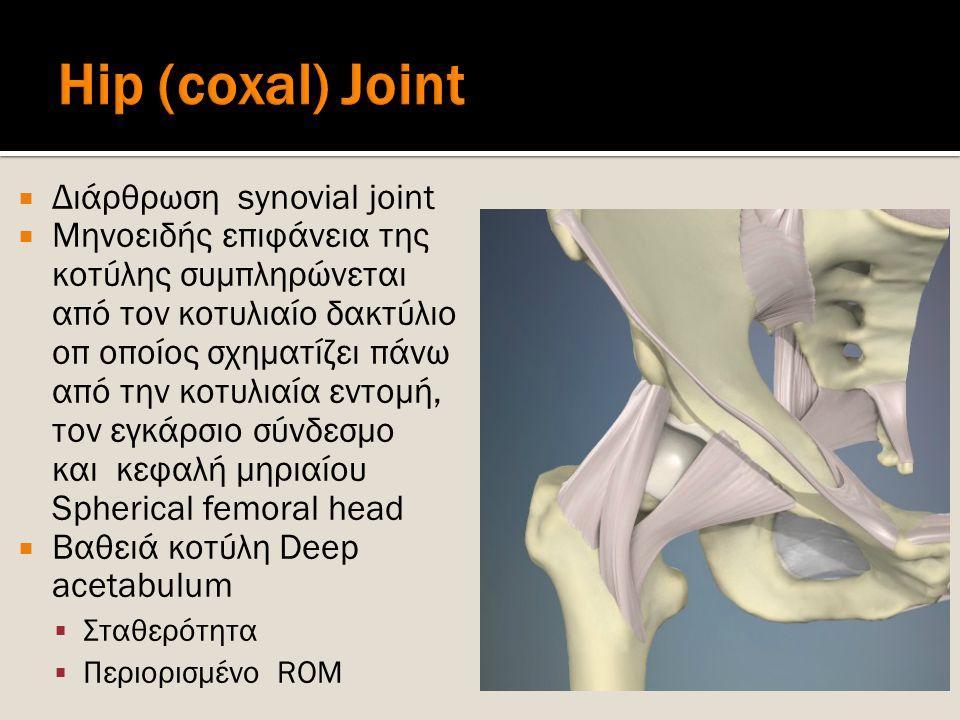  Διάρθρωση synovial joint  Μηνοειδής επιφάνεια της κοτύλης συμπληρώνεται από τον κοτυλιαίο δακτύλιο οπ οποίος σχηματίζει πάνω από την κοτυλιαία εντο
