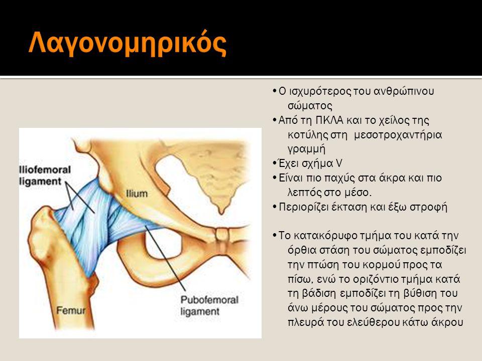 Ο ισχυρότερος του ανθρώπινου σώματος Από τη ΠΚΛΑ και το χείλος της κοτύλης στη μεσοτροχαντήρια γραμμή Έχει σχήμα V Είναι πιο παχύς στα άκρα και πιο λε