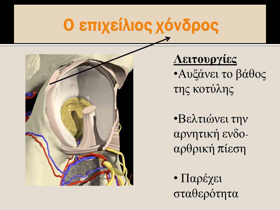 Λειτουργίες Αυξάνει το βάθος της κοτύλης Βελτιώνει την αρνητική ενδο - αρθρική π ίεση Παρέχει σταθερότητα