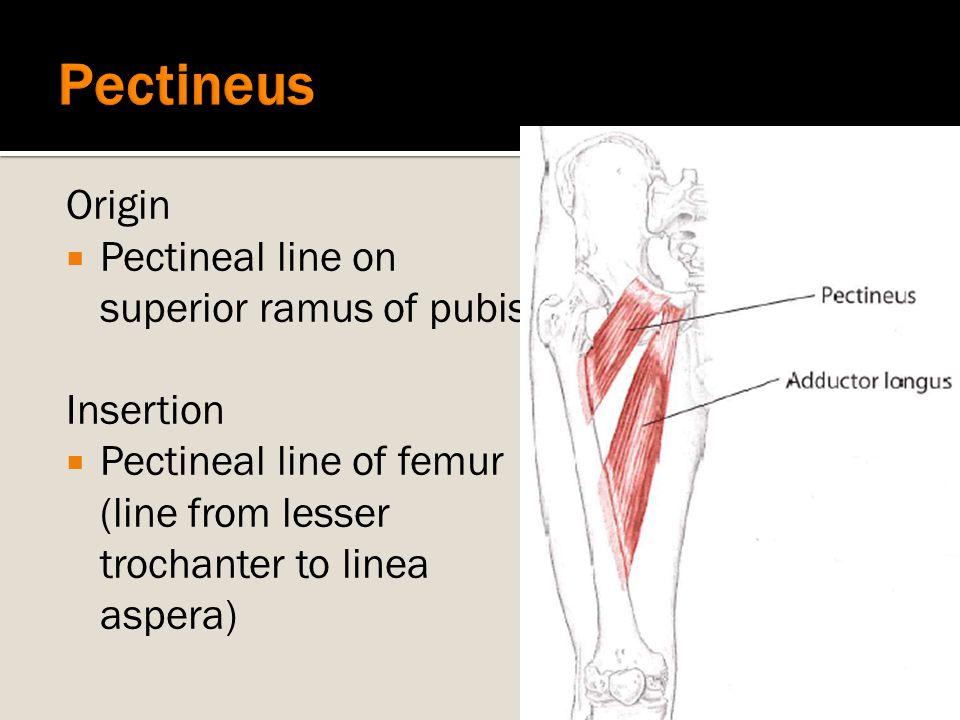 Origin  Pectineal line on superior ramus of pubis Insertion  Pectineal line of femur (line from lesser trochanter to linea aspera)