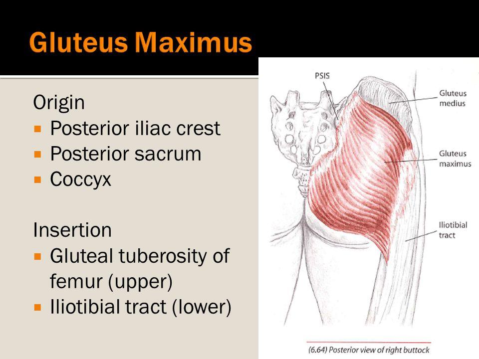 Origin  Posterior iliac crest  Posterior sacrum  Coccyx Insertion  Gluteal tuberosity of femur (upper)  Iliotibial tract (lower)