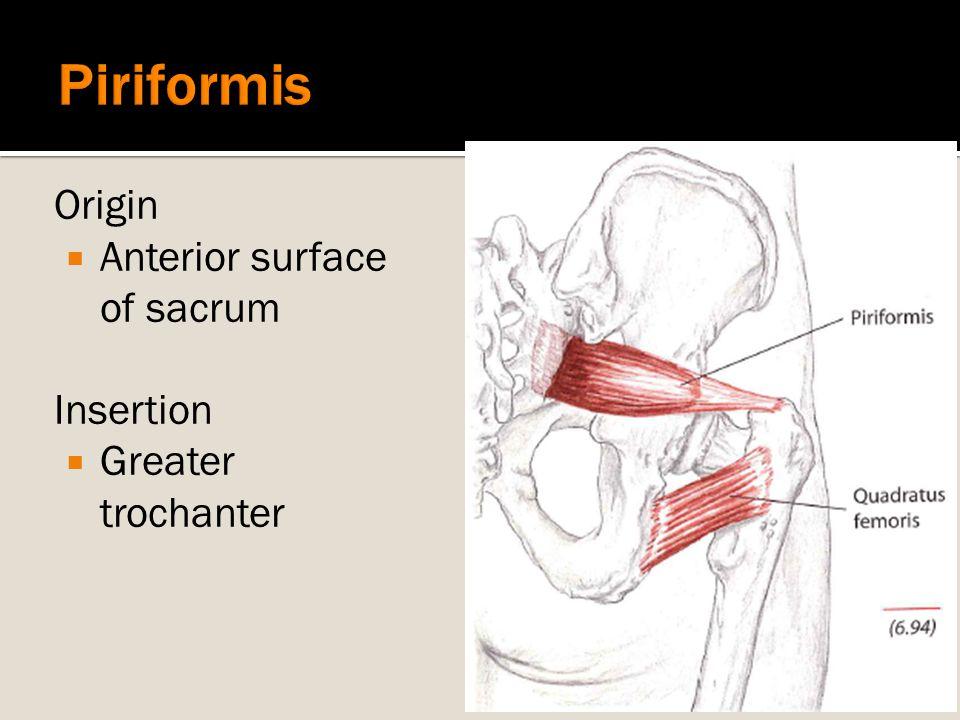 Origin  Anterior surface of sacrum Insertion  Greater trochanter