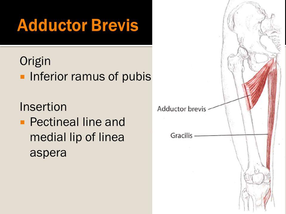 Origin  Inferior ramus of pubis Insertion  Pectineal line and medial lip of linea aspera