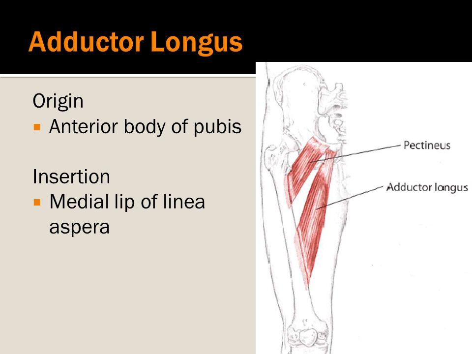 Origin  Anterior body of pubis Insertion  Medial lip of linea aspera