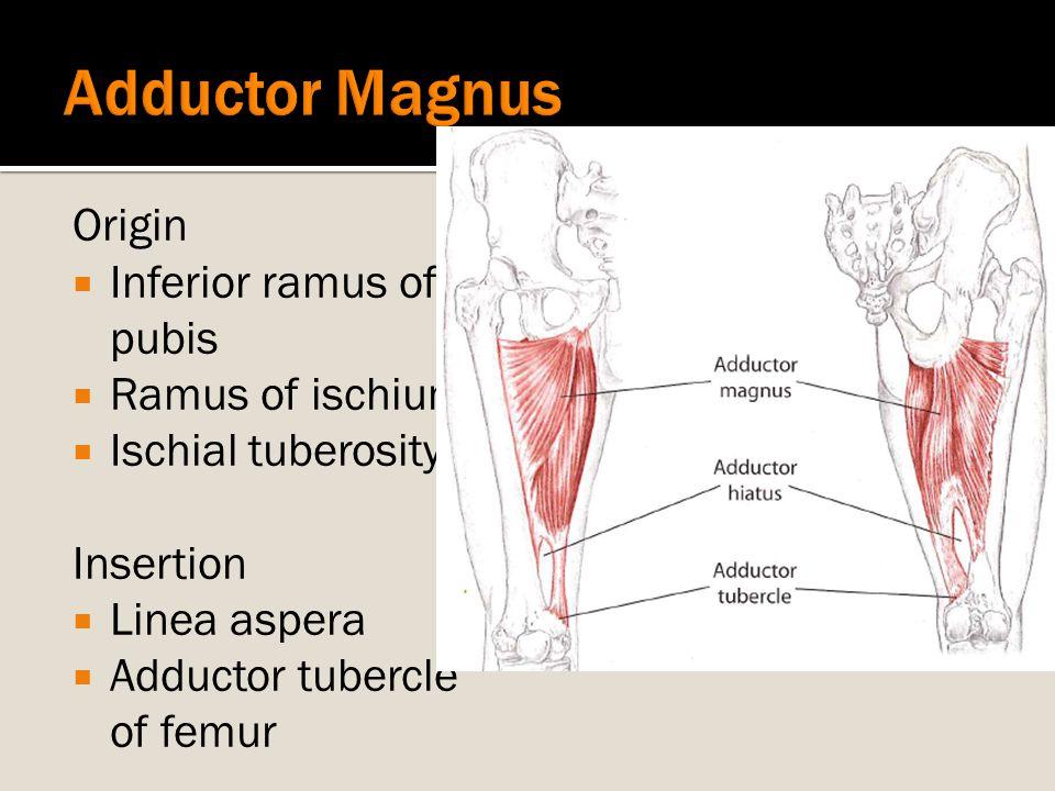 Origin  Inferior ramus of pubis  Ramus of ischium  Ischial tuberosity Insertion  Linea aspera  Adductor tubercle of femur