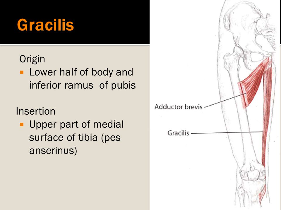 Origin  Lower half of body and inferior ramus of pubis Insertion  Upper part of medial surface of tibia (pes anserinus)
