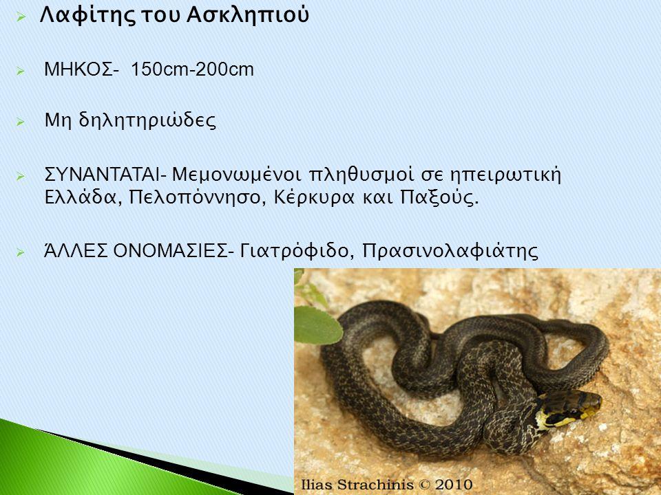  Λαφίτης του Ασκληπιού  ΜΗΚΟΣ- 150cm-200cm  Μη δηλητηριώδες  ΣΥΝΑΝΤΑΤΑΙ- Μεμονωμένοι πληθυσμοί σε ηπειρωτική Ελλάδα, Πελοπόννησο, Κέρκυρα και Παξο