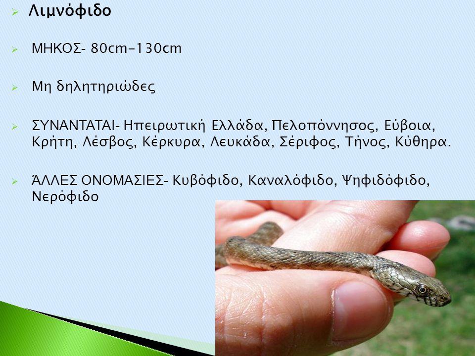  Λιμνόφιδο  ΜΗΚΟΣ- 80cm-130cm  Μη δηλητηριώδες  ΣΥΝΑΝΤΑΤΑΙ- Ηπειρωτική Ελλάδα, Πελοπόννησος, Εύβοια, Κρήτη, Λέσβος, Κέρκυρα, Λευκάδα, Σέριφος, Τήν