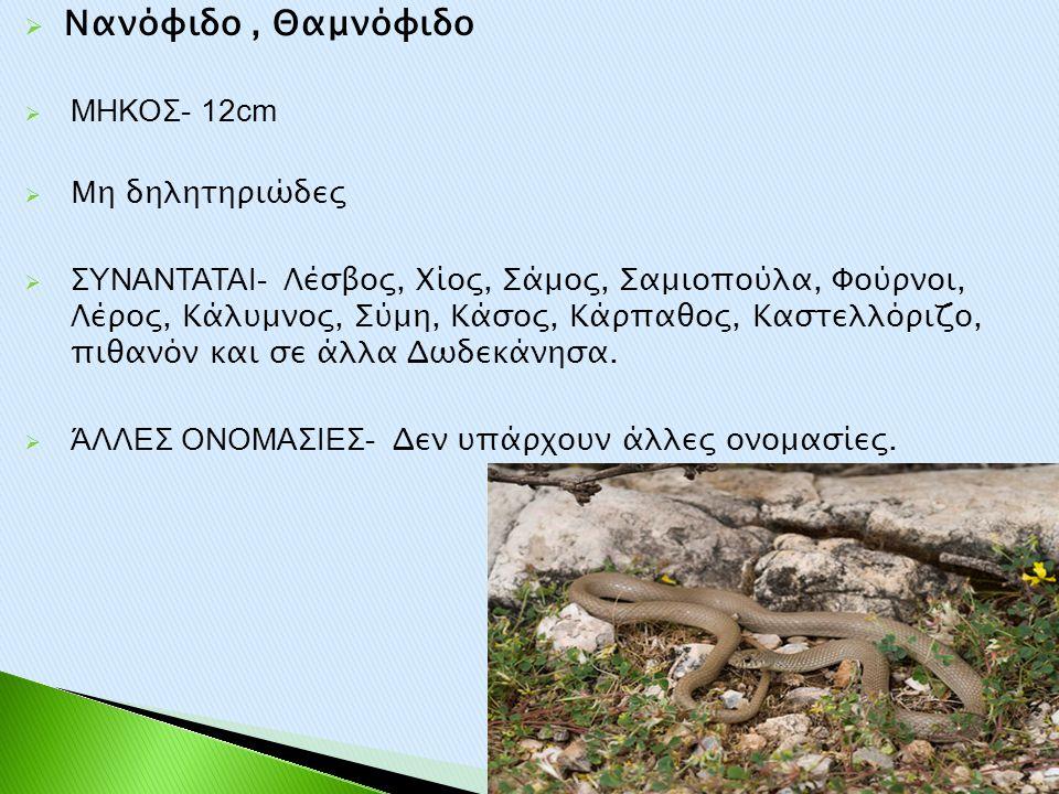  Νανόφιδο, Θαμνόφιδο  ΜΗΚΟΣ- 12cm  Μη δηλητηριώδες  ΣΥΝΑΝΤΑΤΑΙ- Λέσβος, Χίος, Σάμος, Σαμιοπούλα, Φούρνοι, Λέρος, Κάλυμνος, Σύμη, Κάσος, Κάρπαθος,