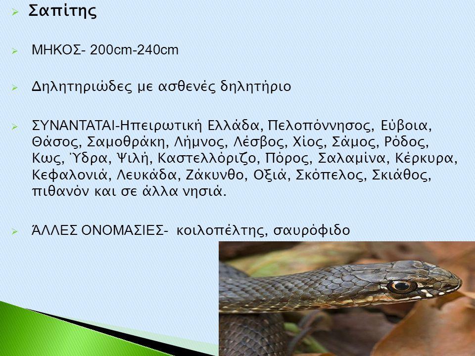  Σαπίτης  ΜΗΚΟΣ- 200cm-240cm  Δηλητηριώδες με ασθενές δηλητήριο  ΣΥΝΑΝΤΑΤΑΙ- Ηπειρωτική Ελλάδα, Πελοπόννησος, Εύβοια, Θάσος, Σαμοθράκη, Λήμνος, Λέ