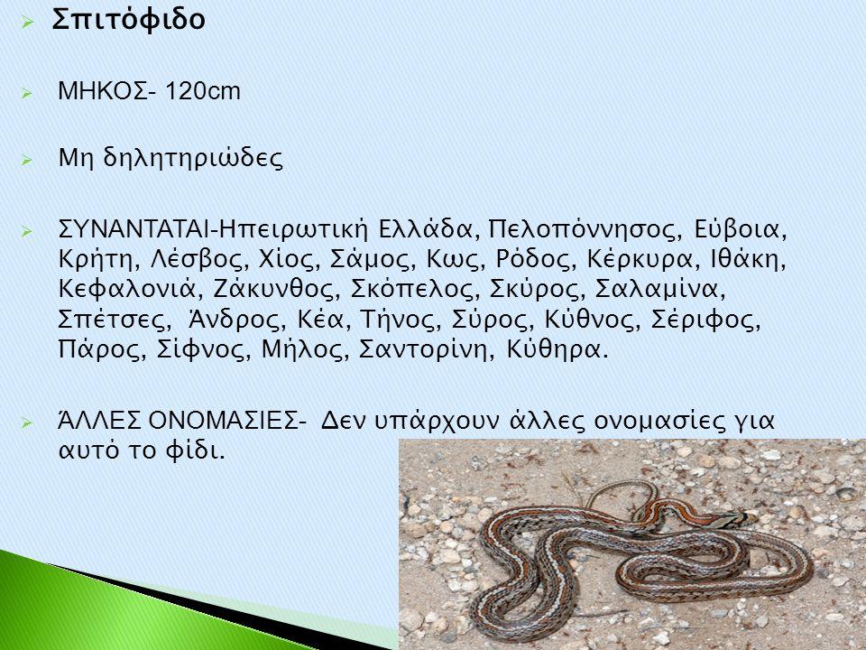  Σπιτόφιδο  ΜΗΚΟΣ- 120cm  Μη δηλητηριώδες  ΣΥΝΑΝΤΑΤΑΙ- Ηπειρωτική Ελλάδα, Πελοπόννησος, Εύβοια, Κρήτη, Λέσβος, Χίος, Σάμος, Κως, Ρόδος, Κέρκυρα, Ι