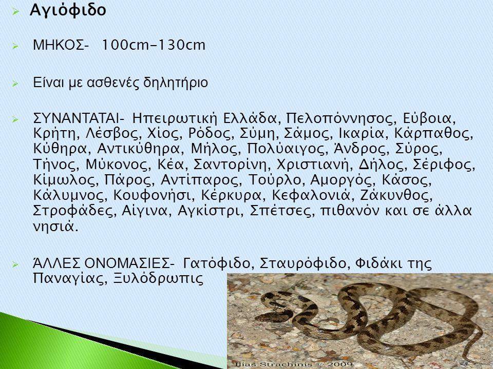  Αγιόφιδο  ΜΗΚΟΣ- 100cm-130cm  Είναι με ασθενές δηλητήριο  ΣΥΝΑΝΤΑΤΑΙ- Ηπειρωτική Ελλάδα, Πελοπόννησος, Εύβοια, Κρήτη, Λέσβος, Χίος, Ρόδος, Σύμη,