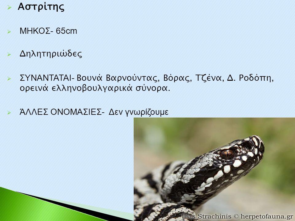  Αστρίτης  ΜΗΚΟΣ- 65cm  Δηλητηριώδες  ΣΥΝΑΝΤΑΤΑΙ- Βουνά Βαρνούντας, Βόρας, Τζένα, Δ. Ροδόπη, ορεινά ελληνοβουλγαρικά σύνορα.  ΆΛΛΕΣ ΟΝΟΜΑΣΙΕΣ- Δε