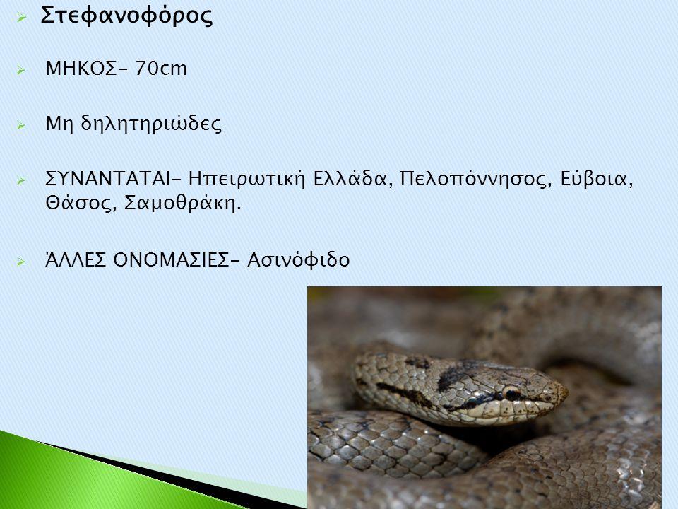  Στεφανοφόρος  ΜΗΚΟΣ- 70cm  Μη δηλητηριώδες  ΣΥΝΑΝΤΑΤΑΙ- Ηπειρωτική Ελλάδα, Πελοπόννησος, Εύβοια, Θάσος, Σαμοθράκη.  ΆΛΛΕΣ ΟΝΟΜΑΣΙΕΣ- Ασινόφιδο