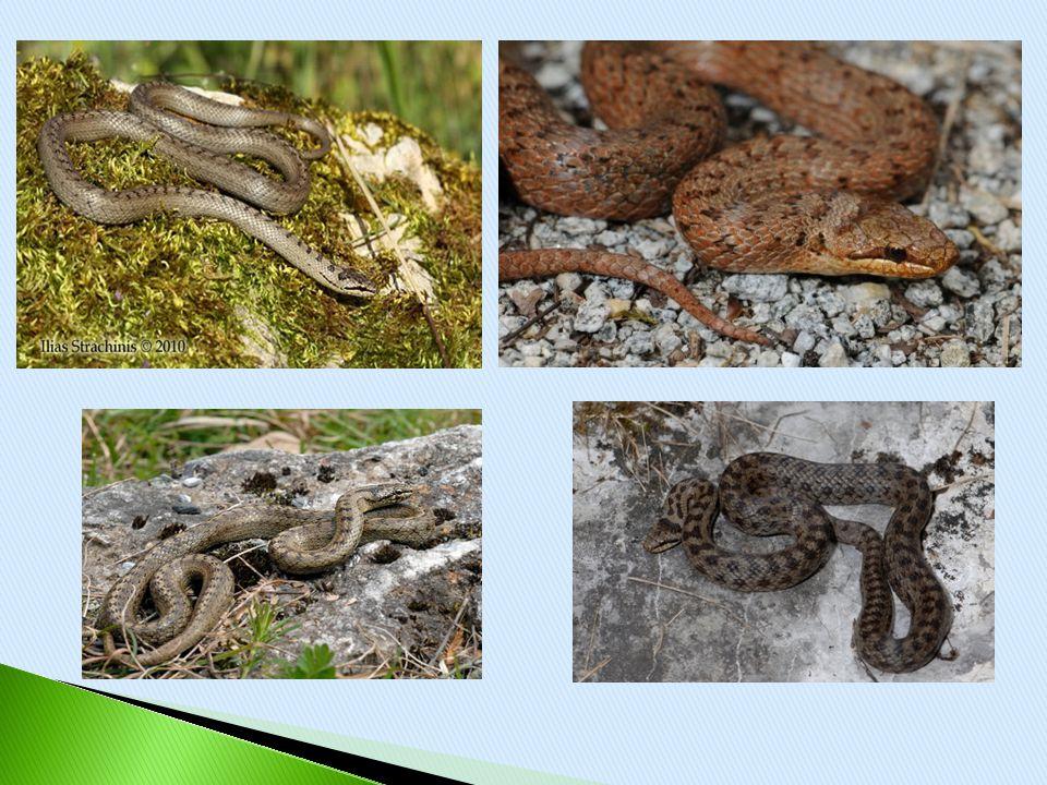  Μαύρο φίδι της Γυάρου  ΜΗΚΟΣ- 90cm-150cm  Μη δηλητηριώδες  ΣΥΝΑΝΤΑΤΑΙ- Γυάρος.