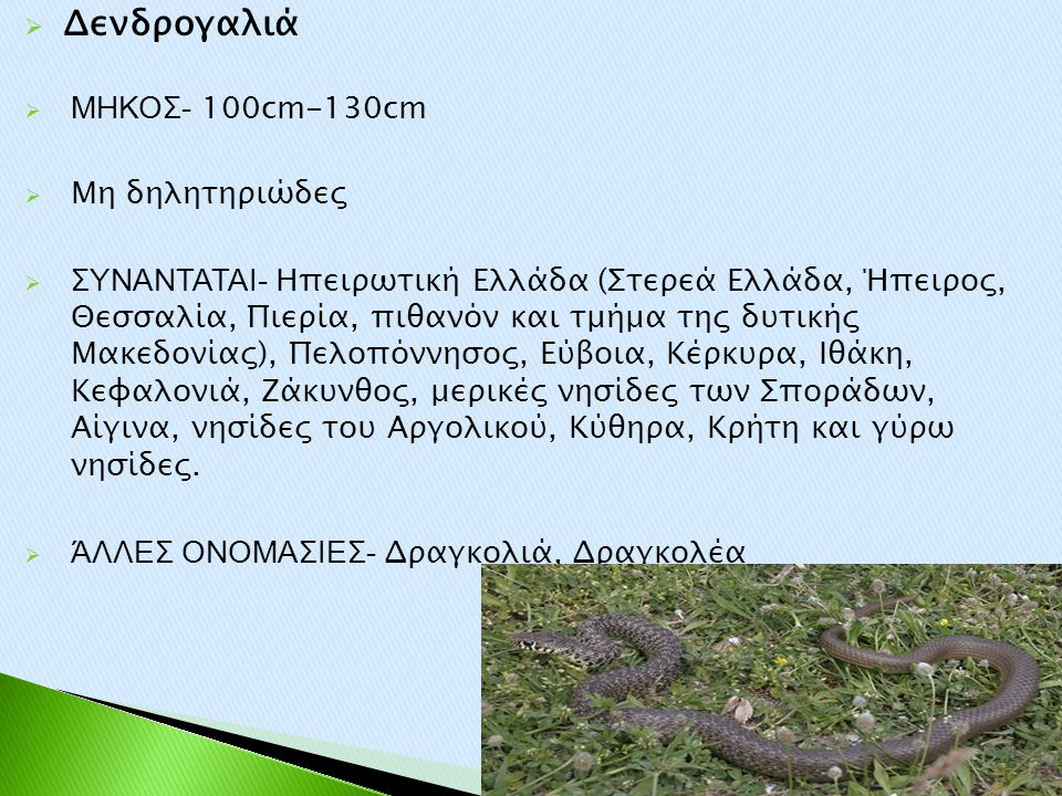  Δενδρογαλιά  ΜΗΚΟΣ- 100cm-130cm  Μη δηλητηριώδες  ΣΥΝΑΝΤΑΤΑΙ- Ηπειρωτική Ελλάδα (Στερεά Ελλάδα, Ήπειρος, Θεσσαλία, Πιερία, πιθανόν και τμήμα της