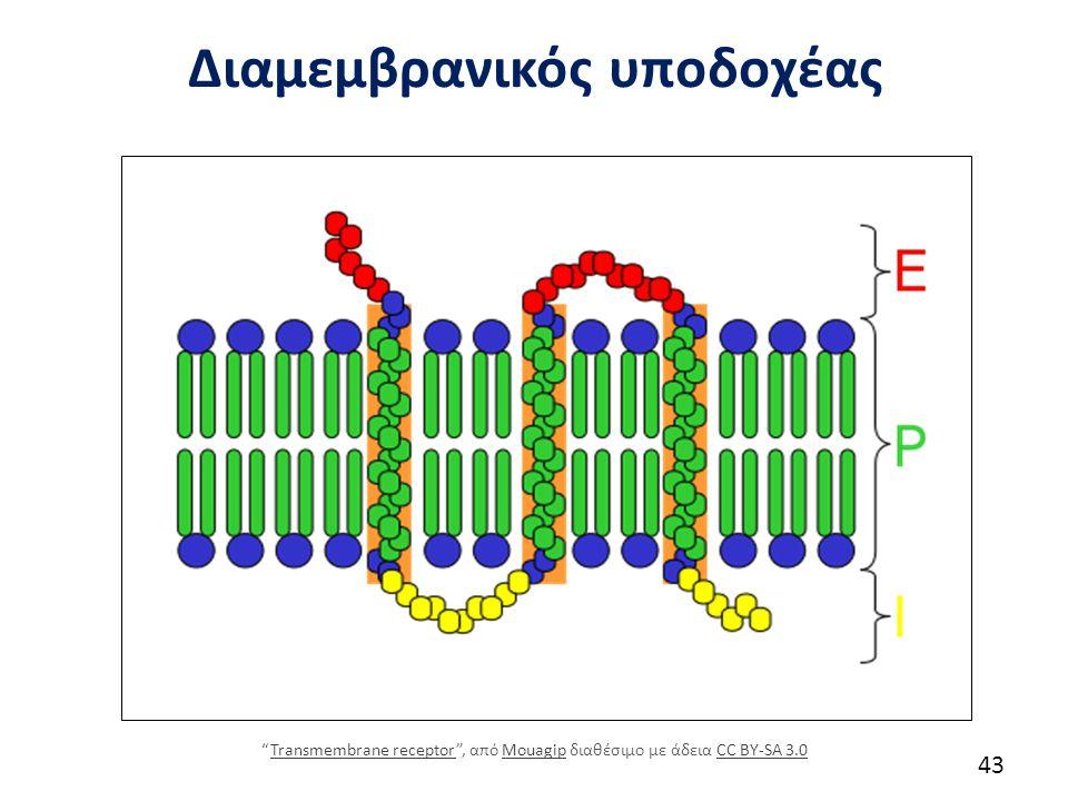"""Διαμεμβρανικός υποδοχέας 43 """"Transmembrane receptor"""", από Mouagip διαθέσιμο με άδεια CC BY-SA 3.0Transmembrane receptorMouagipCC BY-SA 3.0"""