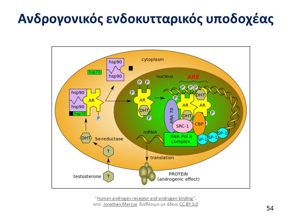 """Ανδρογονικός ενδοκυτταρικός υποδοχέας 54 """"Human androgen receptor and androgen binding"""", από Jonathan.Marcus διαθέσιμο με άδεια CC BY 3.0Human androge"""