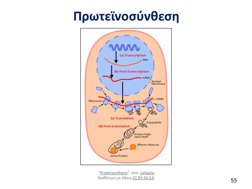 """Πρωτεϊνοσύνθεση 55 """"Proteinsynthesis"""", από Laikayiu διαθέσιμο με άδεια CC BY-SA 3.0ProteinsynthesisLaikayiuCC BY-SA 3.0"""