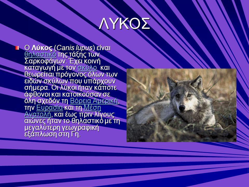 ΛΥΚΟΣ Ο Λύκος (Canis lupus) είναι θηλαστικό της τάξης των Σαρκοφάγων. Έχει κοινή καταγωγή με τον σκύλο και θεωρείται πρόγονος όλων των ειδών σκύλων πο