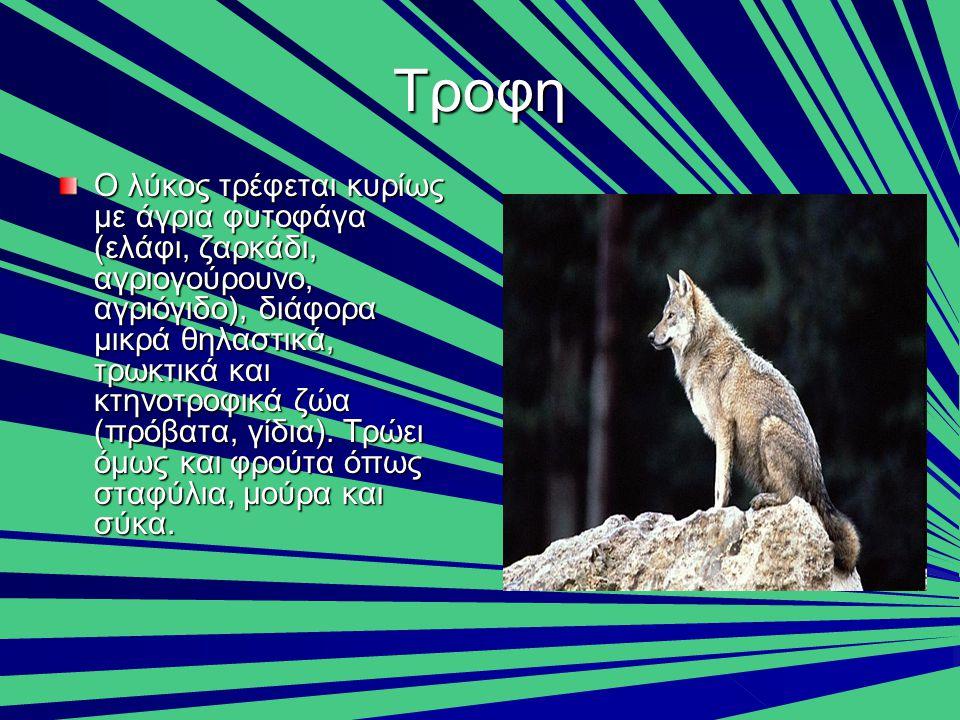 Τροφη Ο λύκος τρέφεται κυρίως με άγρια φυτοφάγα (ελάφι, ζαρκάδι, αγριογούρουνο, αγριόγιδο), διάφορα μικρά θηλαστικά, τρωκτικά και κτηνοτροφικά ζώα (πρ