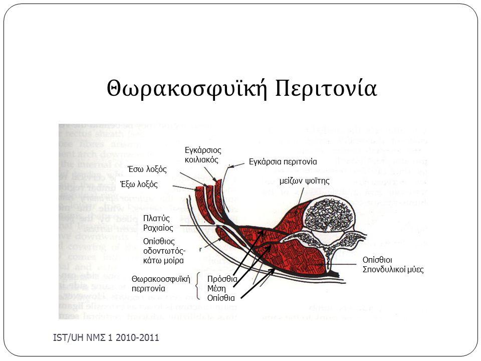 IST/U Η ΝΜΣ 1 2010-2011 Θωρακοσφυϊκή Περιτονία Εγκάρσιος κοιλιακός Εγκάρσια περιτονία μείζων ψοϊτης Έσω λοξός Έξω λοξός Πλατύς Ραχιαίος Οπίσθιος οδοντωτός- κάτω μοίρα Θωρακοοσφυϊκή περιτονία Πρόσθια Μέση Οπίσθια Οπίσθιοι Σπονδυλικοί μύες