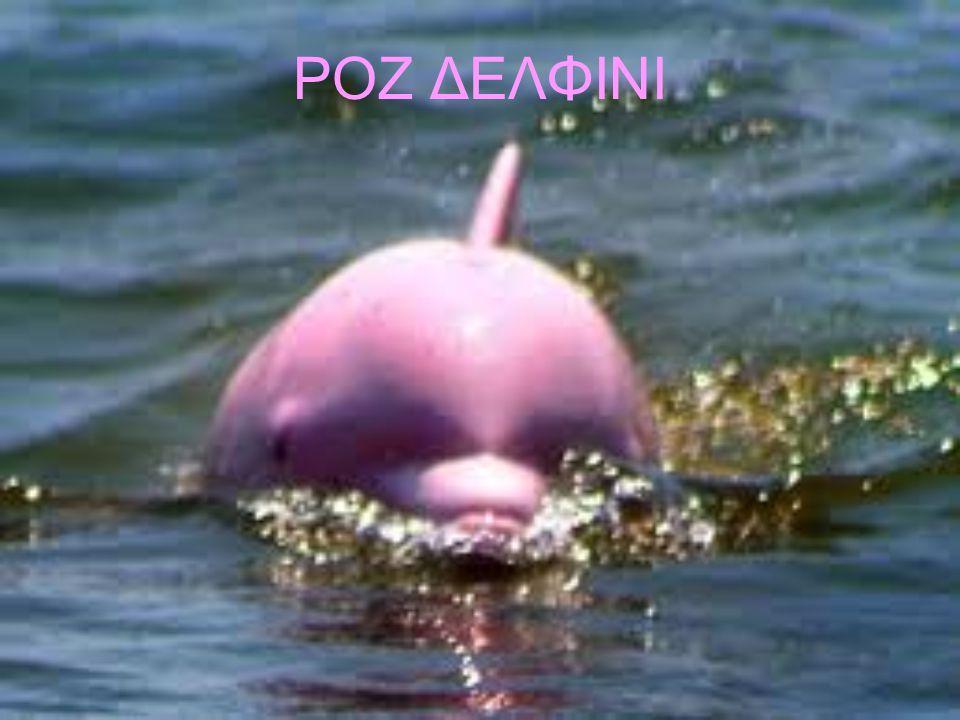 Ροζ δελφίνι Το μοναδικό αυτό ροζ δελφίνι είναι στην πραγματικότητα αλμπίνος.
