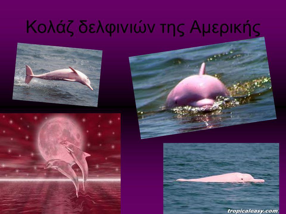 Κολάζ δελφινιών της Αμερικής