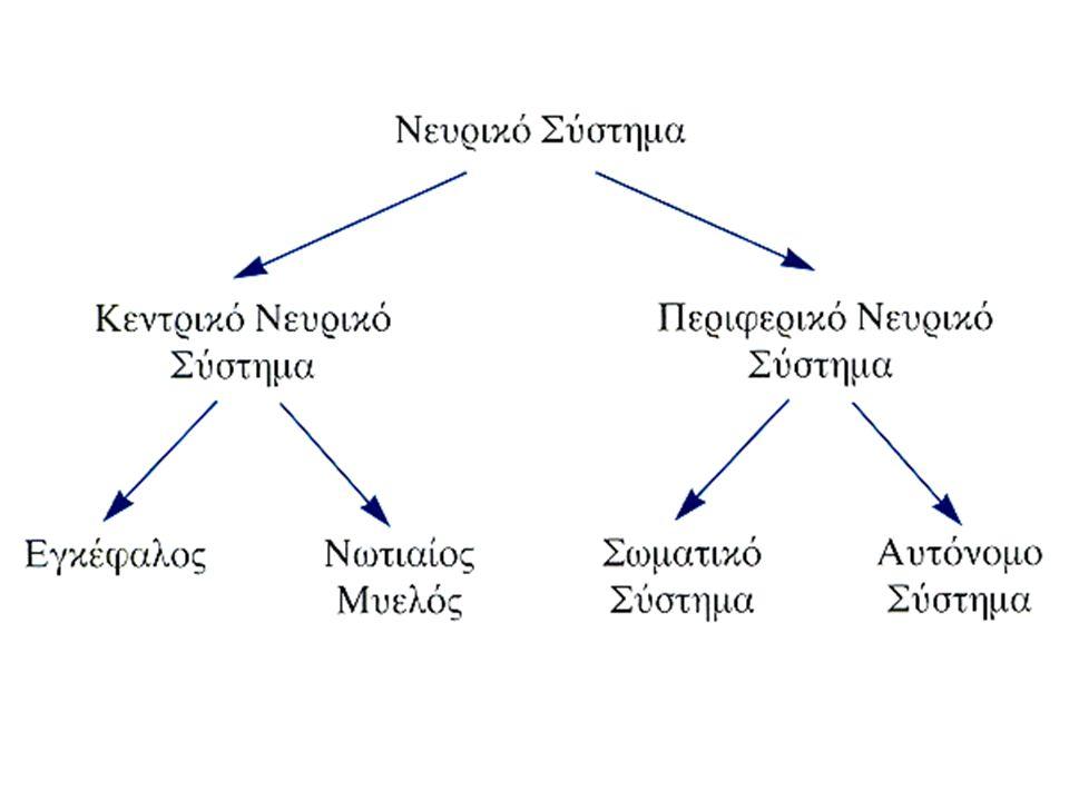 Βιολογικές και αναπτυξιακές διεργασίες Συμμετρία του εγκεφάλου Ευπλαστικότητα Ποικιλομορφία Καθρεπτικά ημισφαίρια (Δ και Α –εξειδίκευση;;;) Ενδοκρινείς αδένες και ορμόνες Γενετικές επιδράσεις στη συμπεριφορά- επικρατούντα και υπολειπόμενα γονίδια - Μελέτες διδύμων