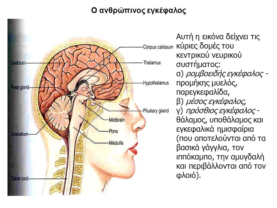 Ο ανθρώπινος εγκέφαλος Αυτή η εικόνα δείχνει τις κύριες δομές του κεντρικού νευρικού συστήματος: α) ρομβοειδής εγκέφαλος - προμήκης μυελός, παρεγκεφαλίδα, β) μέσος εγκέφαλος, γ) πρόσθιος εγκέφαλος - θάλαμος, υποθάλαμος και εγκεφαλικά ημισφαίρια (που αποτελούνται από τα βασικά γάγγλια, τον ιππόκαμπο, την αμυγδαλή και περιβάλλονται από τον φλοιό).