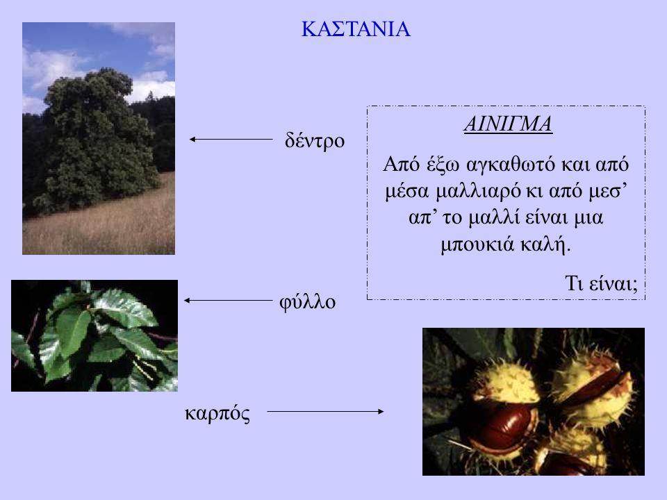 ΚΑΣΤΑΝΙΑ δέντρο φύλλο καρπός ΑΙΝΙΓΜΑ Από έξω αγκαθωτό και από μέσα μαλλιαρό κι από μεσ' απ' το μαλλί είναι μια μπουκιά καλή.
