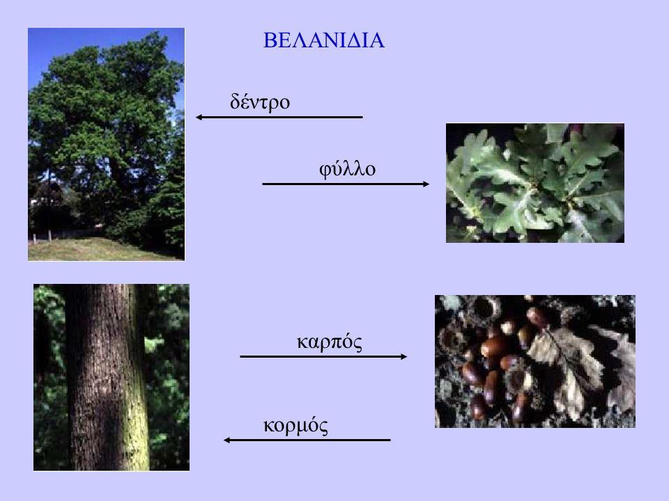 ΒΕΛΑΝΙΔΙΑ καρπός κορμός φύλλο δέντρο