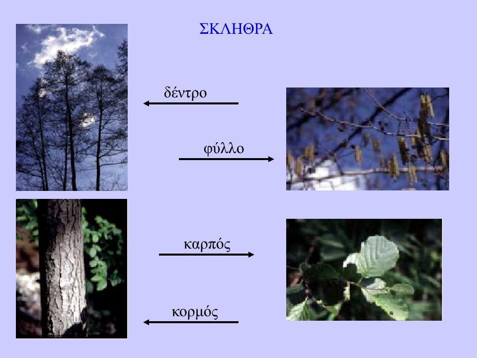 ΣΚΛΗΘΡΑ δέντρο φύλλο καρπός κορμός