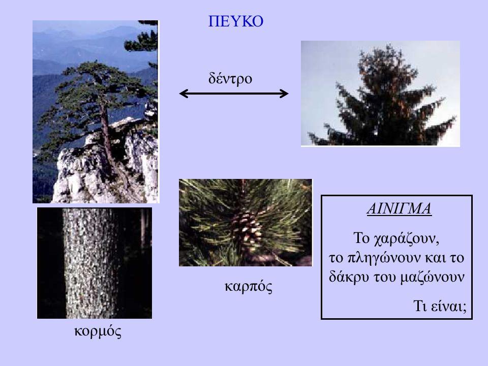 ΠΕΥΚΟ κορμός δέντρο καρπός ΑΙΝΙΓΜΑ Το χαράζουν, το πληγώνουν και το δάκρυ του μαζώνουν Τι είναι;