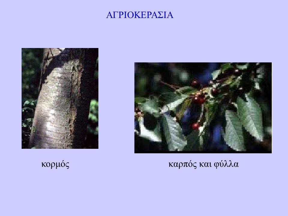 ΑΓΡΙΟΚΕΡΑΣΙΑ κορμόςκαρπός και φύλλα