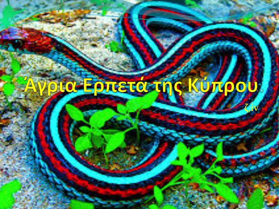 Coluber cypriensis Βιότοποι : λίμνες, ρυάκια, έλη. Μέγεθος : 1.15 μέτρα Μάλλον κοινό - Ενδημικό.