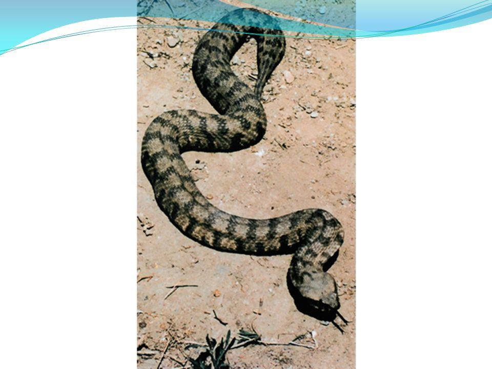 Malpolon monspessulanus Βιότοποι : βραχότοποι. Μέγεθος : 2 μέτρα Δηλητηριώδες.