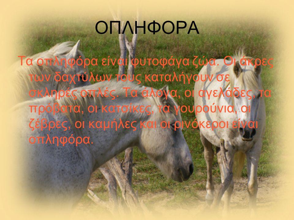 ΟΠΛΗΦΟΡΑ Τα οπληφόρα είναι φυτοφάγα ζώα. Οι άκρες των δαχτύλων τους καταλήγουν σε σκληρές οπλές. Τα άλογα, οι αγελάδες, τα πρόβατα, οι κατσίκες, τα γο