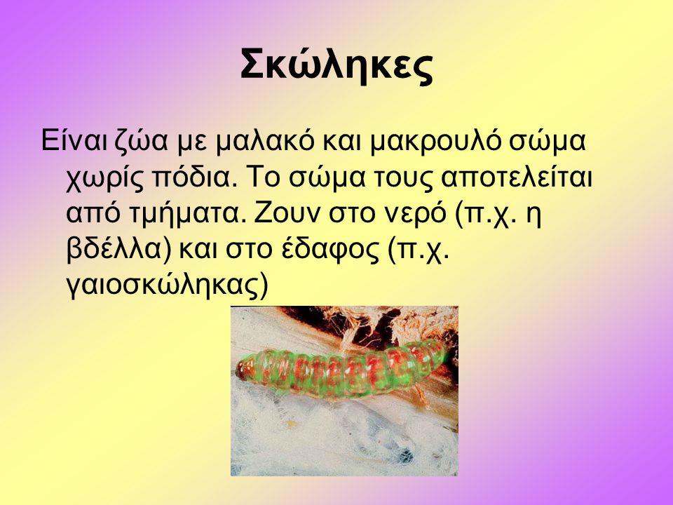 Σκώληκες Είναι ζώα με μαλακό και μακρουλό σώμα χωρίς πόδια. Το σώμα τους αποτελείται από τμήματα. Ζουν στο νερό (π.χ. η βδέλλα) και στο έδαφος (π.χ. γ