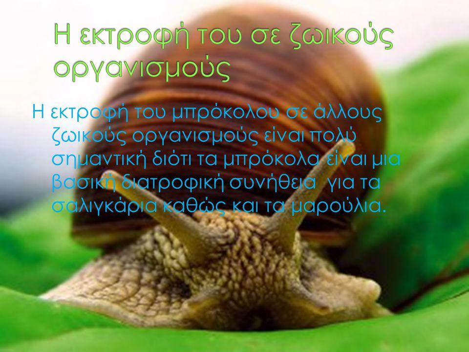 Η εκτροφή του μπρόκολου σε άλλους ζωικούς οργανισμούς είναι πολύ σημαντική διότι τα μπρόκολα είναι μια βασική διατροφική συνήθεια για τα σαλιγκάρια κα