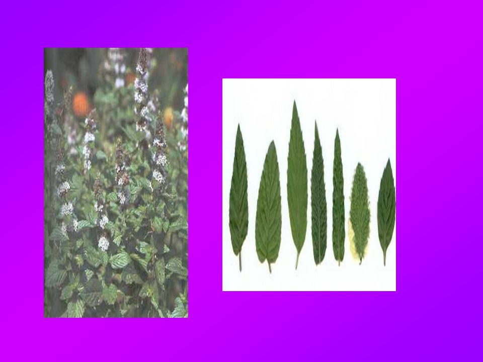 Λεβάντα  Χρησιμοποιείται στην αρωματοποιία και τη θεραπεία νευρασθενειών  Έχει αντισηπτικές ιδιότητες  Σε μεγάλες δόσεις δρα ως υπνωτικό και ναρκωτικό  Οι ιαματικές της ιδιότητες ήταν γνωστές από την αρχαιότητα και αναφέρονται στο Διοσκουρίδη, τον Πλίνιο και το Γαληνό