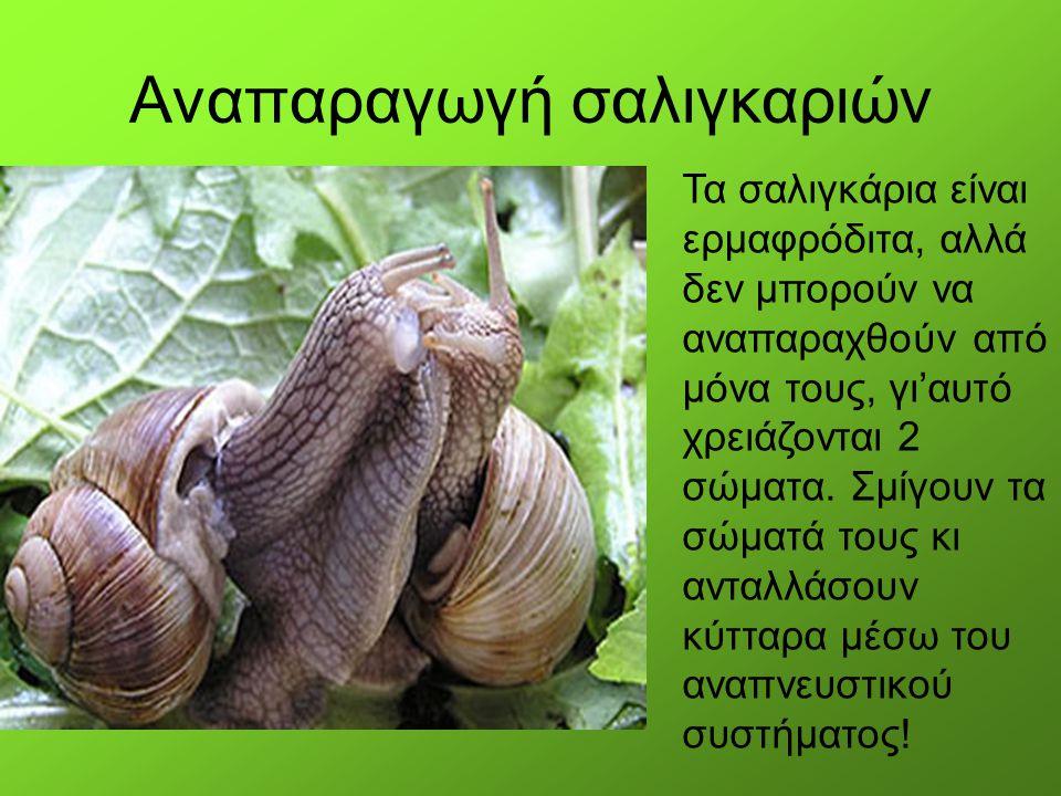 Αναπαραγωγή σαλιγκαριών Τα σαλιγκάρια είναι ερμαφρόδιτα, αλλά δεν μπορούν να αναπαραχθούν από μόνα τους, γι'αυτό χρειάζονται 2 σώματα. Σμίγουν τα σώμα