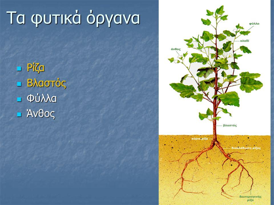 Η Ρίζα Στήριξη Στήριξη Απορρόφηση νερού Απορρόφηση νερού Αποθήκευση θρεπτικών συστατικών Αποθήκευση θρεπτικών συστατικών Τα φυτά αναπτύσσονται πάντοτε κάθετα προς την επιφάνεια της Γης.