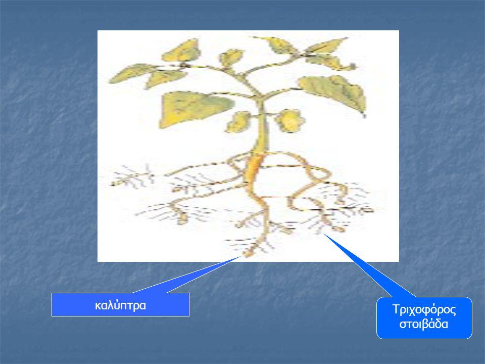 ραπανάκικαρότοχαμομήλι Σιτάρι