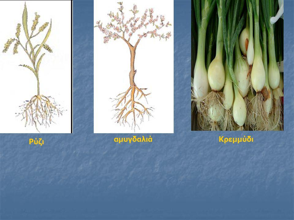 Βλαστός Ο βλαστός: Ο βλαστός: α) στηρίζει το φυτό α) στηρίζει το φυτό β) μεταφέρει νερό και θρεπτικές ουσίες από τη ρίζα προς τα φύλλα, αλλά και από ένα σημείο του φυτού σε ένα άλλο β) μεταφέρει νερό και θρεπτικές ουσίες από τη ρίζα προς τα φύλλα, αλλά και από ένα σημείο του φυτού σε ένα άλλο γ) σε αυτόν βγαίνουν τα φύλλα και τα άνθη γ) σε αυτόν βγαίνουν τα φύλλα και τα άνθη δ) σε κάποια φυτά αποθηκεύει θρεπτικές ουσίες δ) σε κάποια φυτά αποθηκεύει θρεπτικές ουσίες ή και νερό (π.χ.