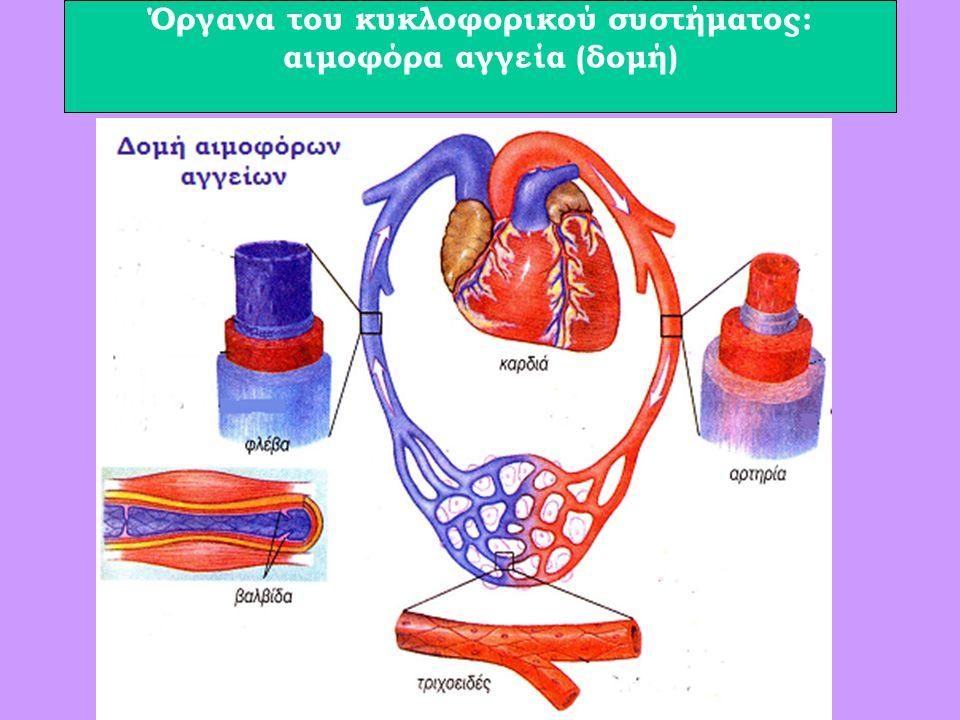 Όργανα του κυκλοφορικού συστήματος: αιμοφόρα αγγεία (δομή)
